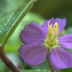 シンハラージャ花
